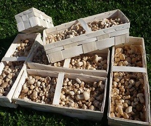 setas comestibles cesta